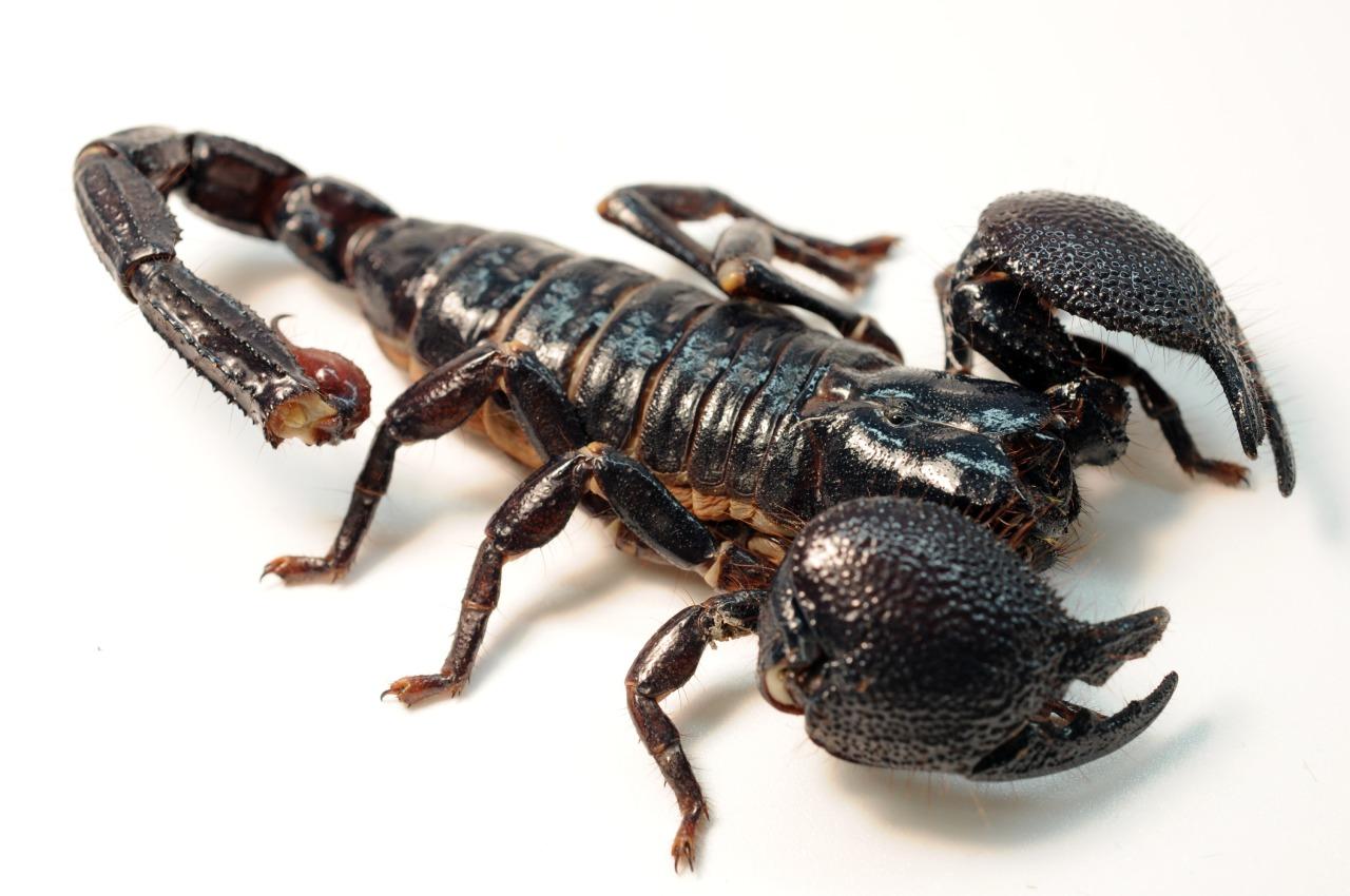 Scorpion tattoo qld
