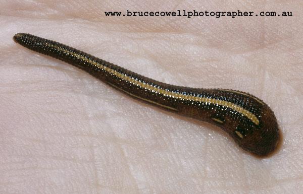 Leeches; Hirudinea
